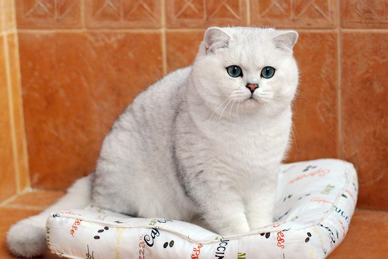 Aşağı Ceketler Kraliyet Kedi - ana avantajları ve bakım kuralları