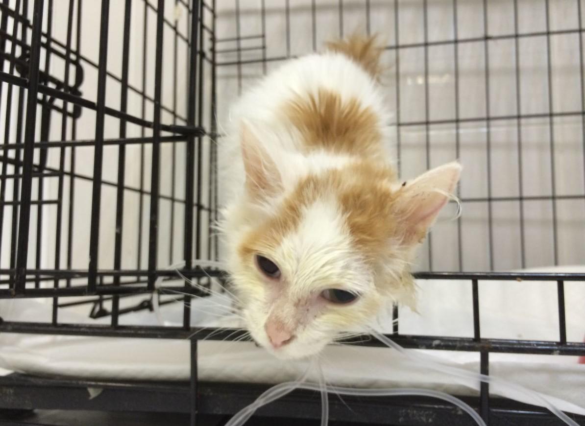 Bir kedi pnömonisi: semptomlar ve tedavi