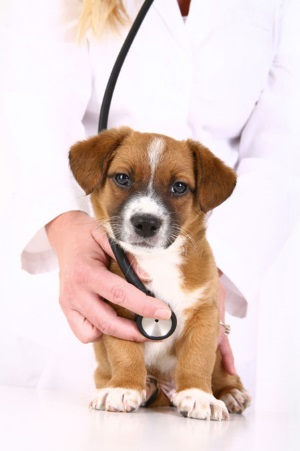 Sahiplere yönelik ipuçları: Bir köpeğin kene nasıl çekileceği