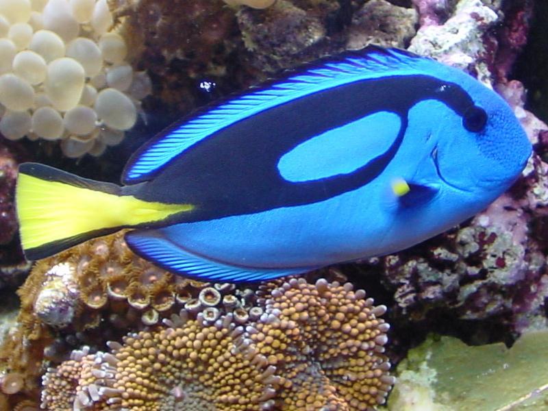 b7f4673ba7aea5 Після виходу на екран мультфільму «У пошуках Немо», діти називають цих рибок  не інакше, як «рибка Дорі». «Дорі» належить до сімейства хірургових риб, ...