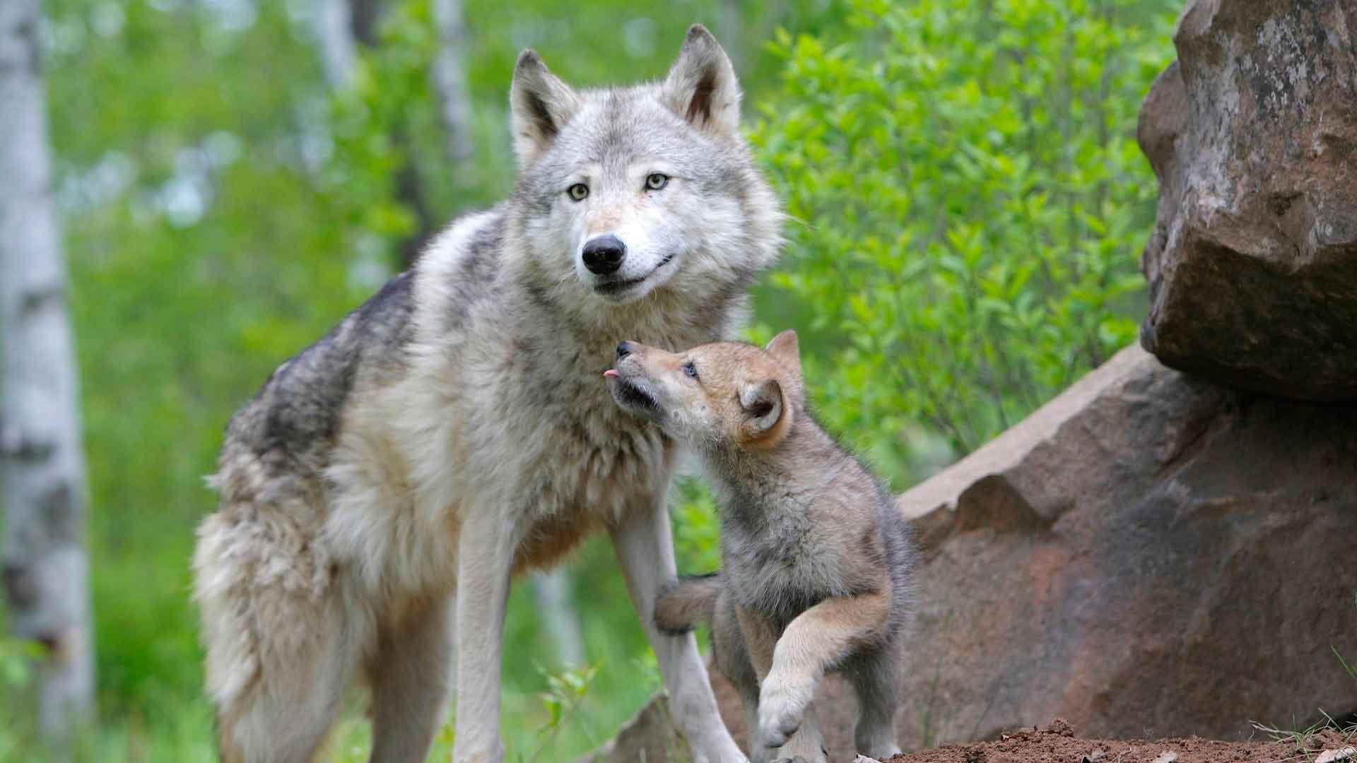 minnesota medienos vilkų prekybos galimybės)