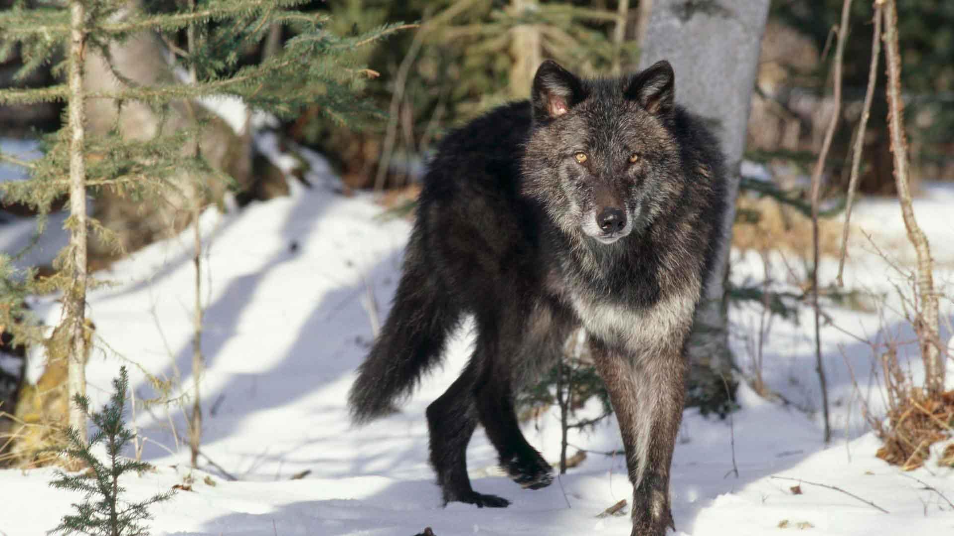 minnesota medienos vilkų prekybos galimybės